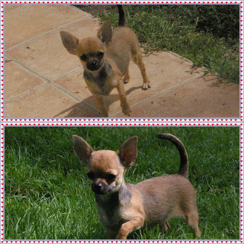 chis-holly Chihuahau